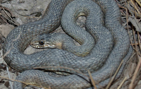 Dolichophis cypriensis.png