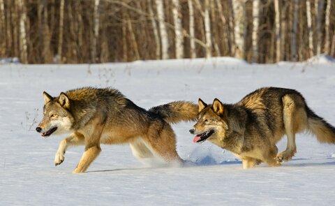 волк.jpg