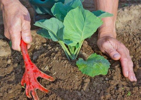 окучивание капусты.jpg