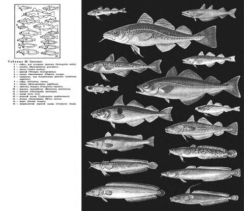otryad-treskoobraznyye-gadiformes.jpg