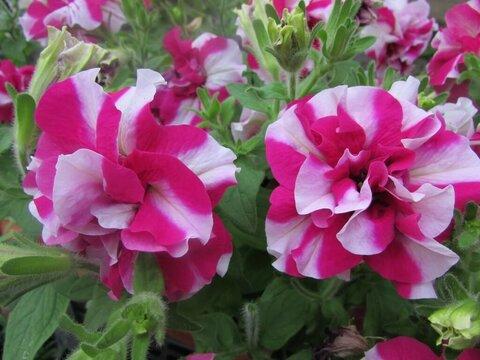 петуния дуо роуз.jpg