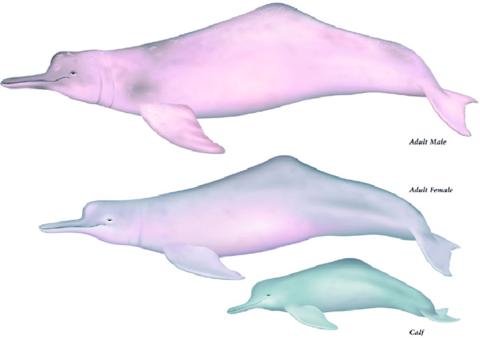https://www.researchgate.net/profile/Dagmar_Fertl2/publication/321872804/figure/fig4/AS:572718072463360@1513558037297/Amazon-River-dolphin-Inia-geoffrensis-Illustrations-by-Uko-Gorter.png