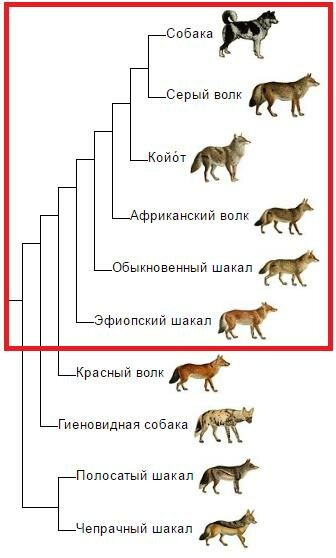 Canis_phylogeny_(rus).png