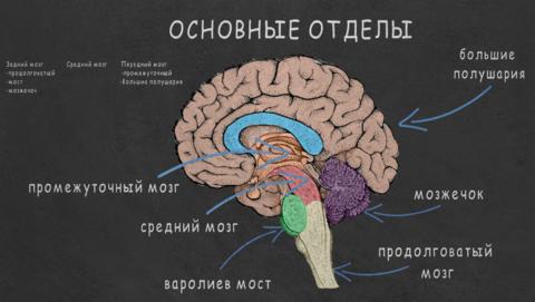 фон мозг.png