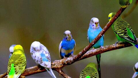 http://ru.birdpets.info/wp-content/uploads/2016/12/volnistie.jpg