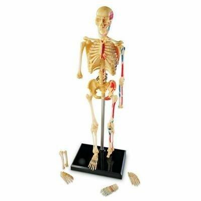 Конструктор Анатомия человека.jpg