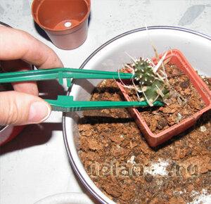 https://iplants.ru/images/cactus-planting4.jpg