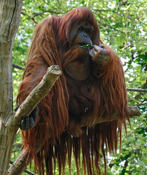 Картинки по запросу орангутан