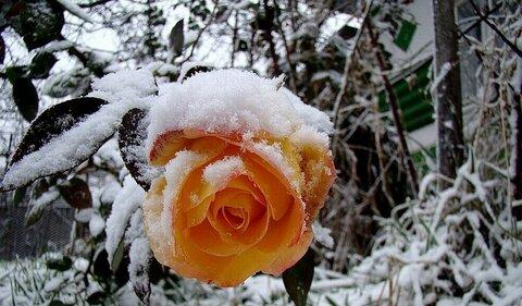 розы под снегом.jpg