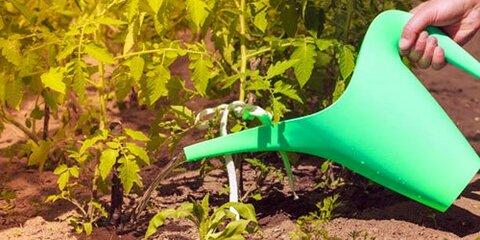 3kak-polivat-pomidory1.jpg