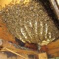Уничтожение древесных пчёл