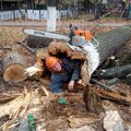 Денис Кожевников, Корчевание дерева в Пересветове