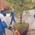 Посадка хвойного дерева