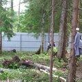 Спил дерева бензопилой