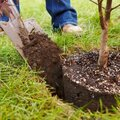 Посадка лиственного дерева