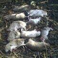 Уничтожение грызунов