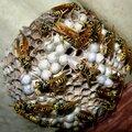 Уничтожение ос, шершней и осиных гнезд