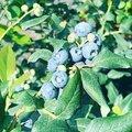 Посадка плодового кустарника
